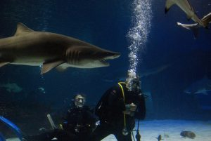 Buddy Diving With Sharks