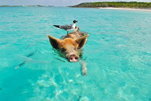 Bahamas Swimming Pigs