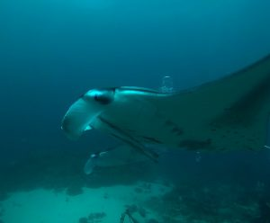 Diving With Giant Manta Ray