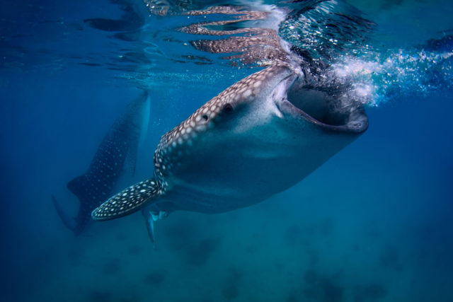 Friendly Whale Sharks Feeding on Plankton