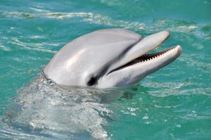 Dolphin Smiling