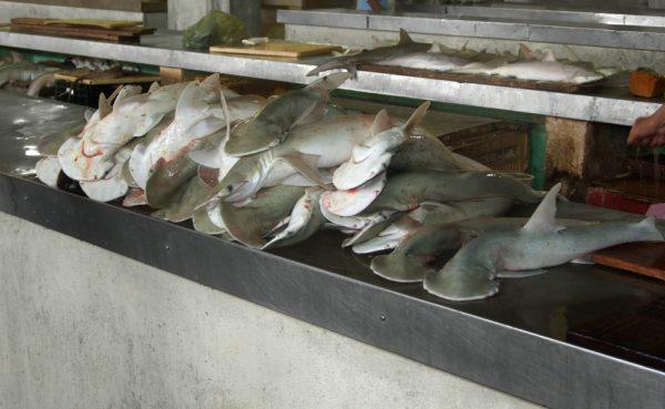 Caught Hammerhead Sharks