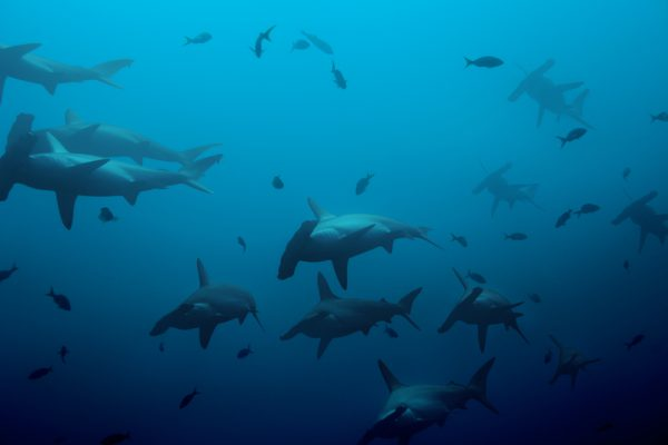 A School of Hammerhead Sharks Out In The Blue