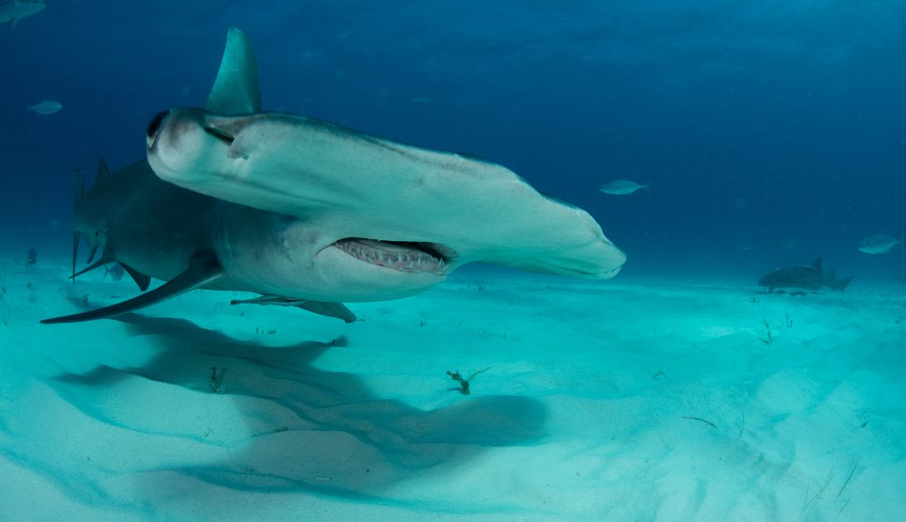 great hammerhead shark facts – The Joy of Scuba Diving