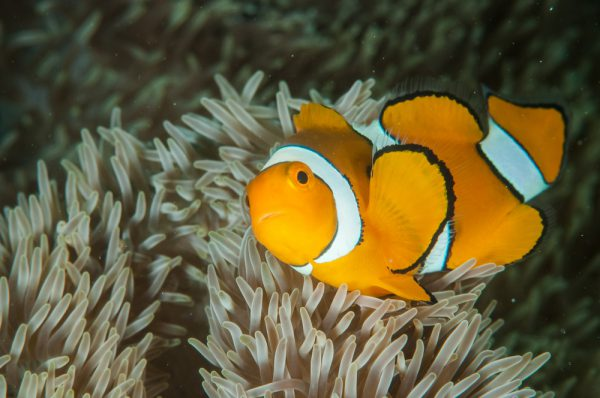 Beautiful Clown Anemonfish