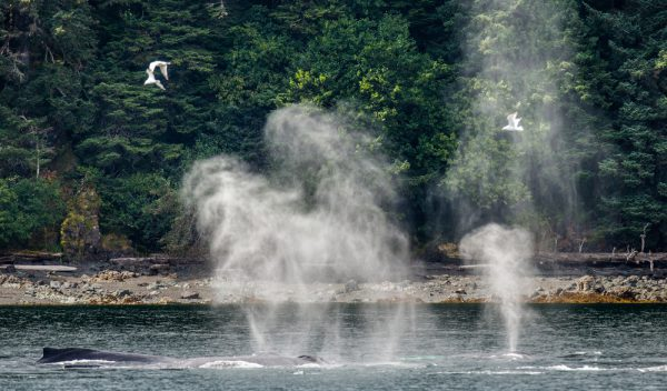 Humpback Whales Blowing Air Out