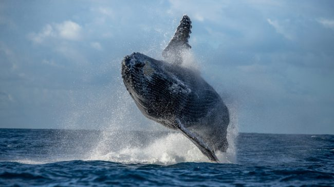 Magnificent Breaching Humpback Whale