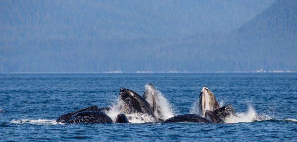 Social Humpback Whales
