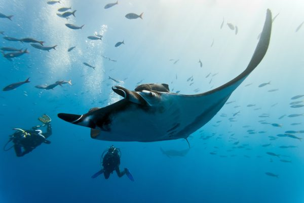 Giant Manta Ray With Divers In The Maldives