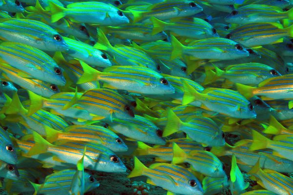 School Of Blue Stripe Snappers Maldives