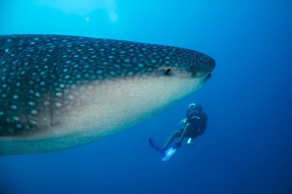 Whale Shark And Diver South Ari Atoll Maldives