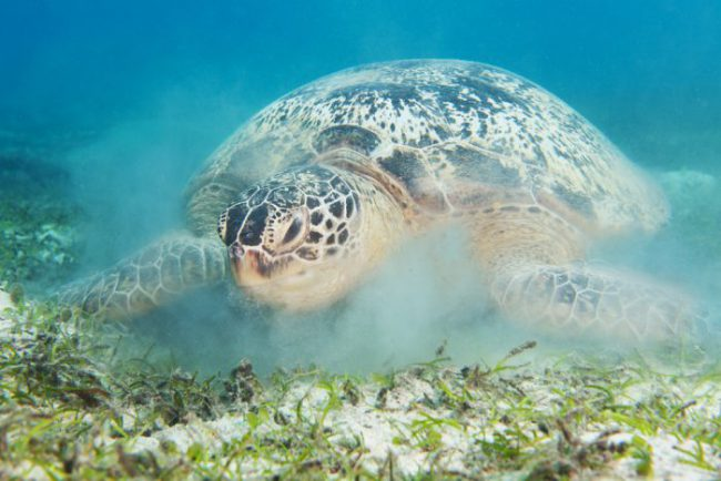 Hawksbill Turtle on Sandy Bottom Thailand