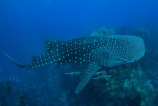 Whale Shark in Richelieu Rock Thailand